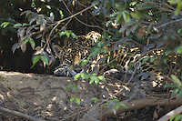 Wild Jaguar, Pantanal, Brazil