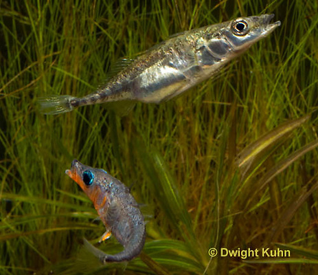 1S47-569z Threespine Stickleback, male courting gravid female with a zigzag dance, she responds with a head-up posture to display her swollen belly, Gasterosteus aculeatus