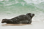 A harbor seals lays on the sand on Children's Pool beach backdropped by the ocean waves on the coast of La Jolla, California.