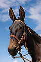 Lokelani, one of the mules with the Molokai Mule Ride tour to Kalaupapa National Historic Park; Molokai, Hawaii.