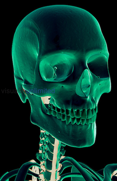 An anterolateral view (right side) of the ligaments of the head and neck. Royalty Free