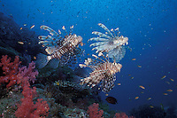 A trio of Indian Lionfish, Pterois muricata, work together to herd baitfish. Similan Islands Marine National Park, Thailand, Andaman Sea