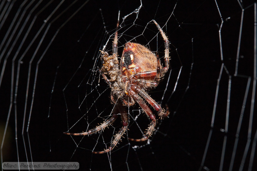 A large orb weaver spider (genus _Araneus_) feeds on what appears to be an unlucky cricket. The spider's web is visible to the sides, as is a black and white/yellow pattern on her abdomen.