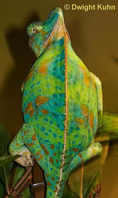 CH39-518z  Female Veiled Chameleon in display colors, Chamaeleo calyptratus