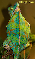 CH39-518z  Female Veiled Chameleon in display colors, Chamaeleo calyptratus