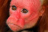 Close of the Red Uakari or Bald Uacari face (Cacajao calvus rubicundus), Lago Preto, Peru