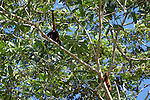 Red Howler Monkeys, Tiputini