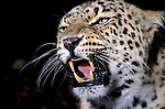 Amur Leopard, Panthera pardus orientalis, snarling, captive, showing teeth and whiskers, aggression....