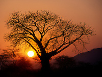 The sunset silhouettes a BAOBAB TREE - ZAMBIA