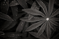 Lupine leaves with water droplet