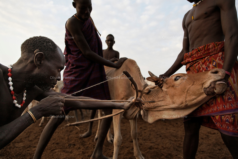 Nyangatom tribesmen shoot their cows with an arrow and then gather the blood that they then drink... this is their major source of protein.  They sometimes mix the blood with milk from the cows.  Cows blood, milk and sorghum keep these people alive.