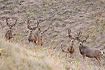 6 trophy muledeer bucks in velvet stand attention alert ears foward bunch grass shrub habitat