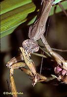 1M36-111z  Praying Mantis female eats male during mating - Tenodera aridifolia sinenesis  © Dwight Kuhn