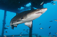TP0334-D. Sand Tiger Shark (Carcharias taurus) swimming inside a shipwreck. Fearsome appearance but not aggressive, posing no threat to divers unless provoked; can hover in midwater by using stomach as a buoyancy compensator after they have gulped air at surface; feeds on bony fishes, sharks and rays, crustaceans, and squid; some migrate to warmer waters in fall and winter and cooler climates in spring and summer. North Carolina, USA, Atlantic Ocean.<br /> Photo Copyright &copy; Brandon Cole. All rights reserved worldwide.  www.brandoncole.com