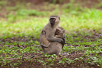 Vervet or Green Monkey adult holding its young (Cercopithecus aethiops), South Africa.