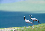 Demoiselle cranes, Tov Province, Mongolia<br /> Canon EOS-1N<br /> Canon EF 600mm lens<br /> June 1998