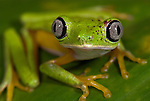 Lemur Leaf Frog, Hylomantis lemur, on leaf, day time lime green and silver eyes colouration, Guayacan, Provincia de Limon, Costa Rica, Amphibian Research Center, tropical jungle, South America, Endangered, Threatened.Central America....