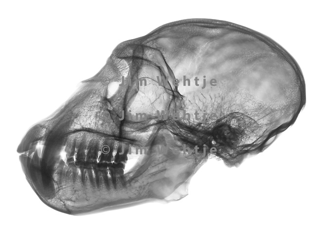 X-ray image of a closed vervet monkey skull and jaw (black on white) by Jim Wehtje, specialist in x-ray art and design images.