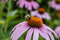 A large Bumblebee (Bombus) feeds on the flower of an Echinacea..