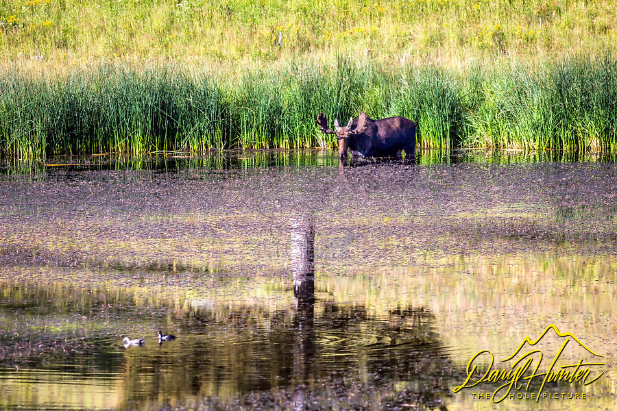 A bull moose wading into the nutritious waters of Floating Lake in North Yellowstone Park.