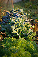 Cold hardy greens and carrots in a garden on a frosty fall morning.