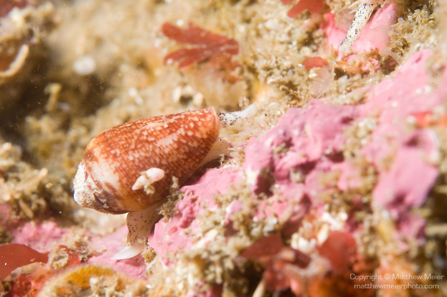 Point Loma, San Diego, California; a California Cone Snail (Conus californicus) moves across the rocky reef