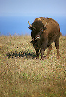 Lone buffalo bison on ridge with blue sky