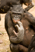Bonobo or Pigmy Chimpanzee (Pan paniscus) in a small colony at the Jacksonville Zoo, Jacksonville, Florida, USA. Many of the Bonobos exhibit hair loss from too frequent grooming.
