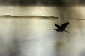 A great blue heron glides over the water where new flood control terraces are being constructed along the Napa River.
