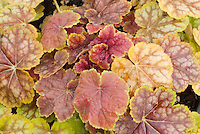 Heuchera Stock Images Plant Photos