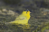 Wilson's Warbler (Wilsonia pusilla) bathing in a stream in Victoria, British Columbia, Canada.