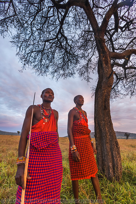 Two Masai warrior tribesman survey the savannah while standing under an umbrella acacia tree in the Masai Mara, Kenya, Africa