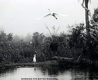 EGRETS,FLYING OVER THE BAYOU