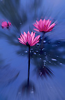 Abstract Flowers, Waterlily, Movement