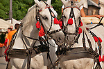 Two horses of one of the many horse carriages in front of St. Mary's Basilica in Krakow, Poland on the Main Market Square which is the largest medieval square in Europe and dates back to the 13th century