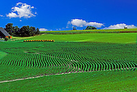 Soybeans planted in rows up a hill to a field of corn with barn and hay in view