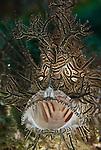 Lacey scorpionfish (Rhinopias aphanes) yawning