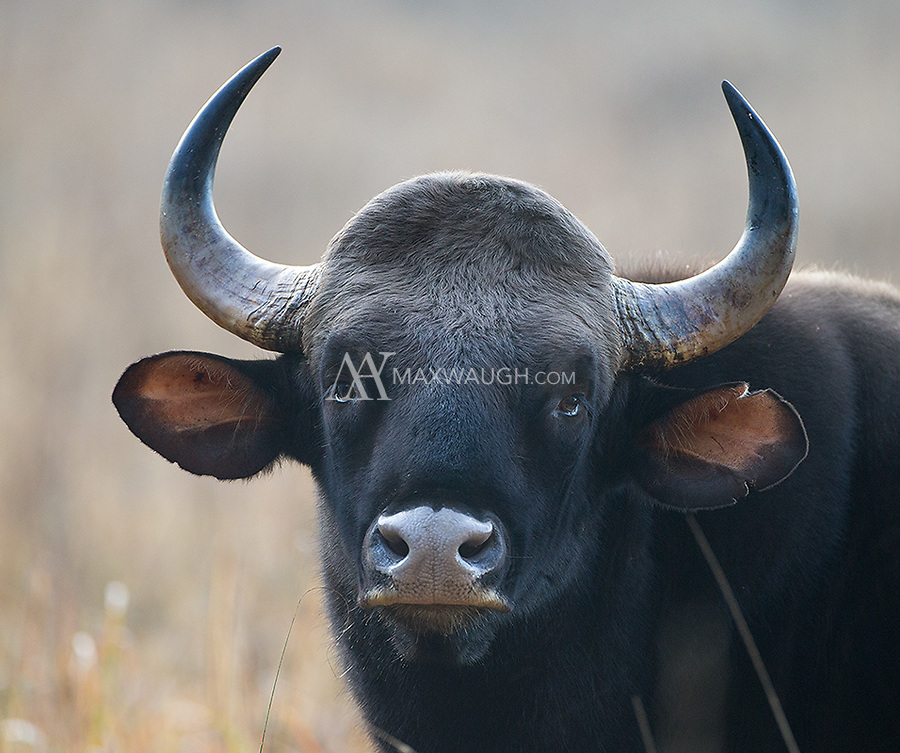 The gaur (Asian bison) is the world's largest wild bovid species.