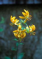 Hanson's Lily Lilium hansoni yellow orange flowers with spots, facing downward