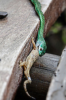 An emerald green snake unhinges its jaw to swallow and eat a lizard in Kenya, Africa (photo by Wildlife Photographer Matt Considne)