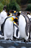 Lovebirds I - King penguins Macquarie Island