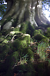 Close up of moss-covered roots of a beech tree