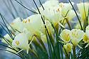 Narcissus bulbocodium subsp. praecox var. paucinervis, one of the so-called  hoop-petticoat daffodils.  From Morocco.