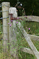 Centaurea nigra grows next to a wooden gate at Great Dixter