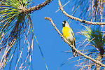 A male Lawrence's Goldfinch perches on a narrow branch of a fir tree