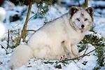 Arctic Fox, Alopex lagopus, in snow, captive....