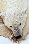 The thick fur of the polar bear provides such good insulation that snow on it is not melted by the bear's body heat, Manitoba, Canada.