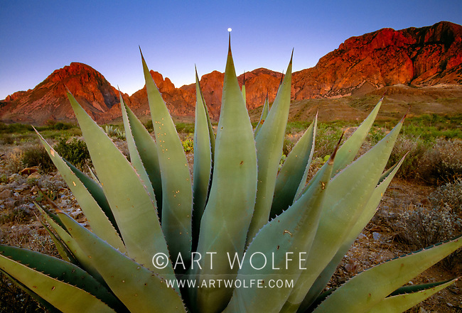 Chisos agave, Chisos Range, Big Bend National Park, Texas