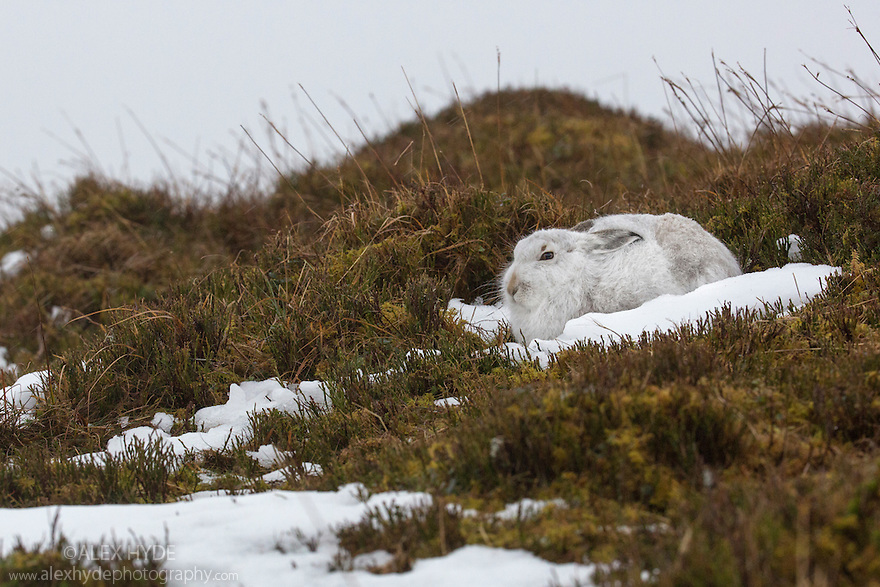 Mountain Hare (Lepus timidus) camouflaged on snow, Cairngorms National Park, Scotland. January.