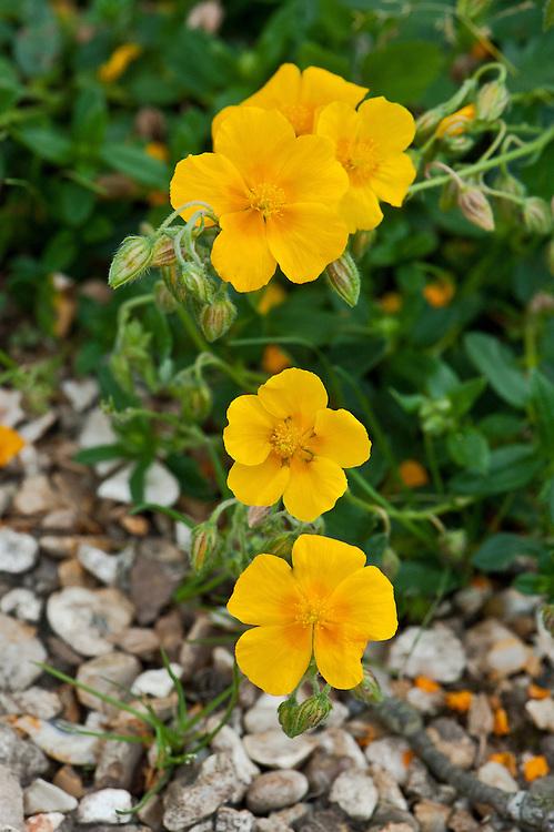 Yellow rock rose (Helianthemum 'Amy Baring'), early July.